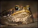 cane toad.jpg