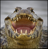cayman throat and teeth.jpg