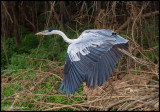 cocoi heron in flight.jpg