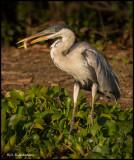 cocoi heron w fish.jpg