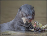 giant river otter w fish.jpg