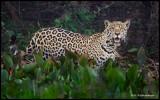 jaguar mother looking at me.jpg