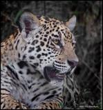 jaguar profile.jpg