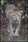 jaguar standing looking.jpg