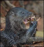 neotropical river otter eats fish.jpg