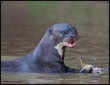 giant river otter eats fishshows teeth.jpg