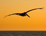 pelican sunset .jpg