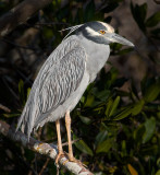 yellow cr night heron.jpg