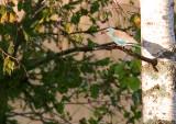 Blåkråka 1/10-09 Rällså