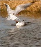 Hornborgasjön Fågeludden 2006