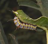 Caterpillar of Queen Butterfly