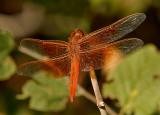 Skimmer Dragonflies: Genus: Libellula