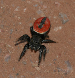 Jumping Spiders (Family: Salticidae)