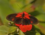 Heliconius Hybrid