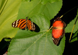 Isabella's Heliconium and Red Peacock
