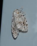 Little White Lichen Moth (8098)