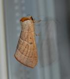 Drexel's Datana Moth (7904)