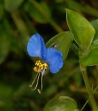 Dayflower, Asiatic