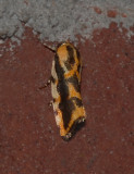 Common Spragueia Moth (9127)
