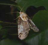 Eyed Baileya Moth (8970)