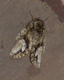 White-blotched Heterocampa (7990)