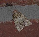 Ovate Dagger Moth (9243)