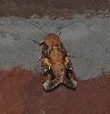 Fall Armyworm Moth & Caterpillars (9666)