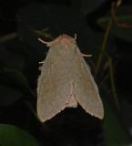 Drab Prominent Moth (7974)