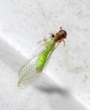 Spider with Green Lacewing Prey