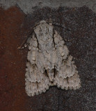 Lobelia Dagger Moth (9238)