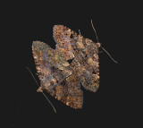 Common Fungus Moth Pair