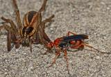 Spider Wasp ready to attack a Rabid Wolf Spider