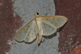 Ironweed Root Moth (5228)