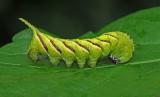 Rustic Sphinx Caterpillar (7778)