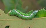 Pink Prominent Moth Caterpillar (8022)