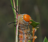 Spiny Oakworm Moth Caterpillar (7716)