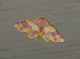 Stained Lophosis Moth (7181)