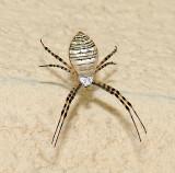 Banded Garden Spider (A. trifasciata)