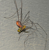 Order Opiliones with Yellowjacket Prey