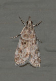 Many-spotted Scoparia Moth (4719)