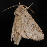 Double-lined Prominent Moth (7999)