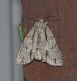 Pleasant Dagger Moth (9227)