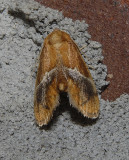 Yellow-shouldered Slug Moth (4665)
