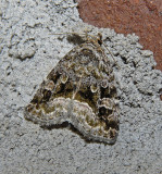 Large Mossy Lithacodia (9047)