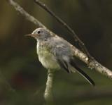 Blue-gray Gnatchatcher (Female)
