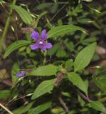 Blue Waxweed