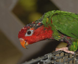 Mitred Parakeet (Mitred Conure)