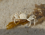 Gulf Ghost Crab