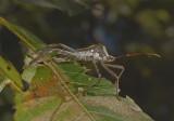 Acanthocephala declevis