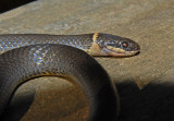 Southern Ring-necked Snake Gallery